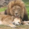 Spreekbeurt leeuwen