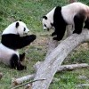 Spreekbeurt Panda