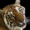 Spreekbeurt tijgers