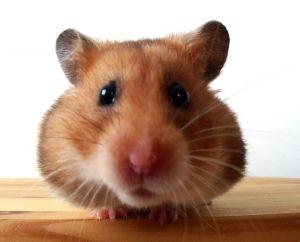Spreekbeurt over de Hamster