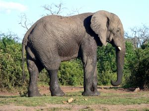 Spreekbeurt Olifanten, groot hè!