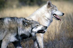 Spreekbeurt over Wolven