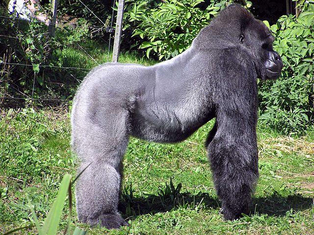 Spreekbeurt Gorilla